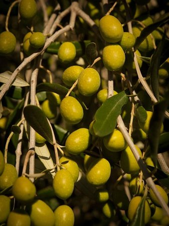 Hillsfield House Bed and Breakfast Marlborough: Olives ripening