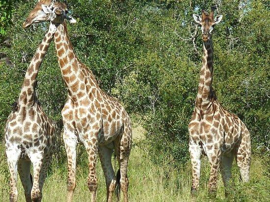 Imbali Safari Lodge: visitors