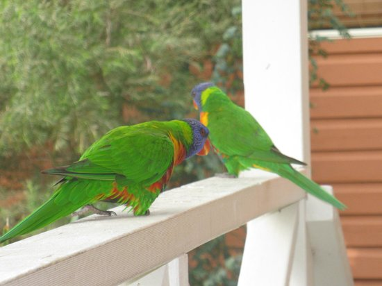 Lane Cove River Tourist Park : Rosellas came for breakfast