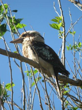Lane Cove River Tourist Park : Kookaburra on camp grounds