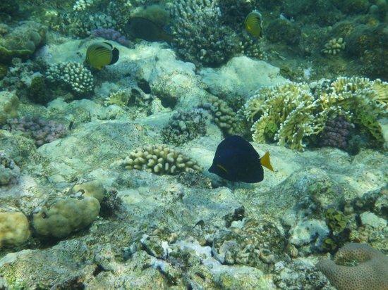 Jaz Samaya Resort : Blauer Segelflossendoktor (Schnorchelfoto)