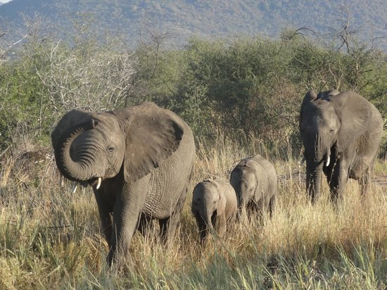 Impodimo Game Lodge: Elephants at a walking pace