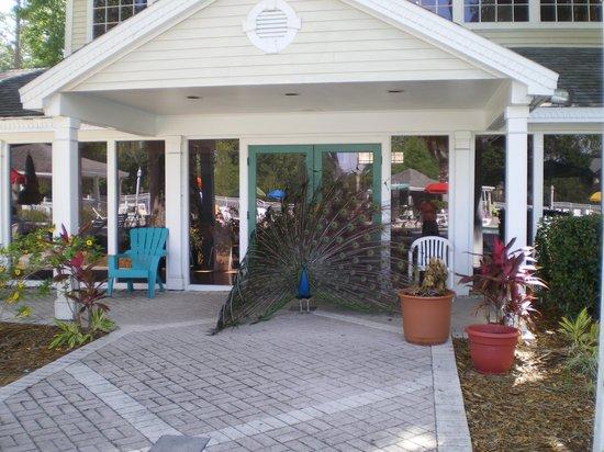 Oak Plantation Resort: One of the male peacocks