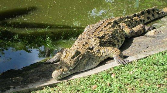 Andilana Beach Resort: Coccodrillo nel parco dell'hotel