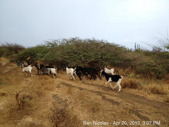 Kite-Inn: Goats are roaming around the area