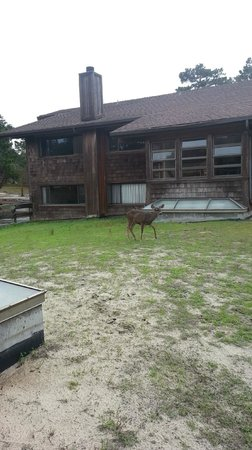 Asilomar Conference Grounds: Several deer were roaming around the grounds