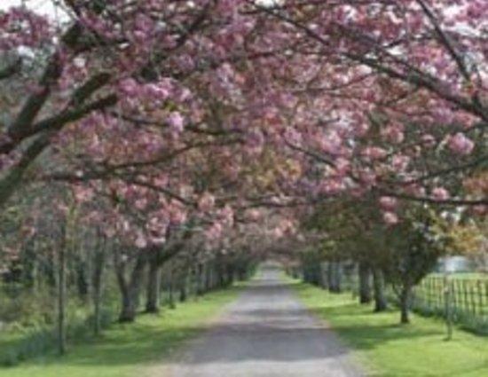 Arbutus Hotel: Cherry blossom walk