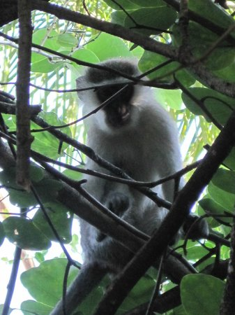 Protea Hotel by Marriott Hazyview: Vervet Monkey in the Tree