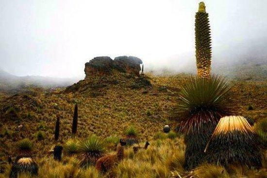 """La Paz Walking Tours: La planta de floración más lenta es la """"Puya Raimondi"""", la más grande de todas las herbáceas y p"""