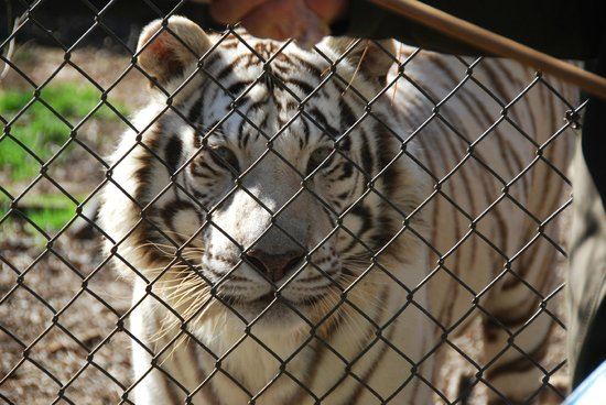 Carolina Tiger Rescue: Jellybean the white bangel tiger