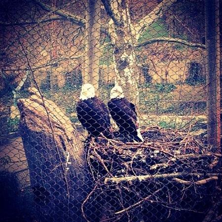 John Ball Zoo: bald eagles