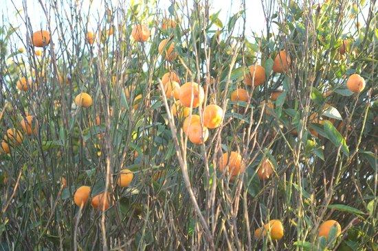 Finca de la Florida Hotel: Naranjas!