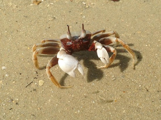 Thalang District, Thailandia: Crab at Lawa island - Crabe a l'île de Lawa