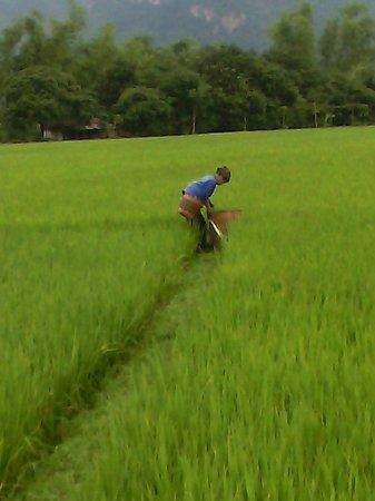 Mai Chau Day Trek: local worker in the rice fields