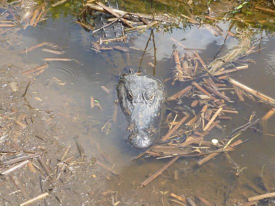 Wild Willy's Airboat Tours: 9ft Gator