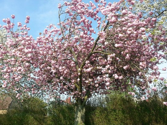 Tillieres-sur-Avre, France: Cherry blossom in the garden