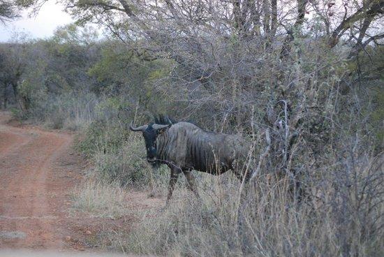 Mokolodi Nature Reserve : Blue wildebeest
