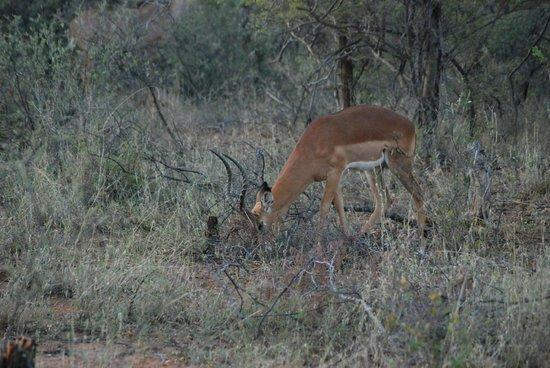 Mokolodi Nature Reserve : Impala