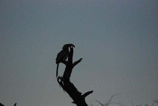 Mokolodi Nature Reserve : Hornbill