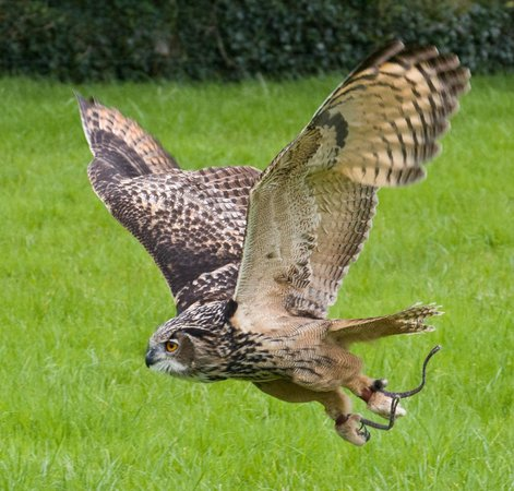Castleisland, Ireland: Eagle Owl in Flight