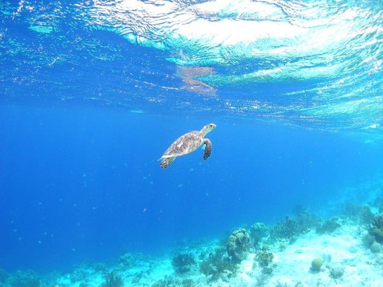 Woodwind Sailing & Guided Snorkel: turtle!