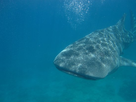 Michael's Resort and Dive: Swimming with the whale sharks