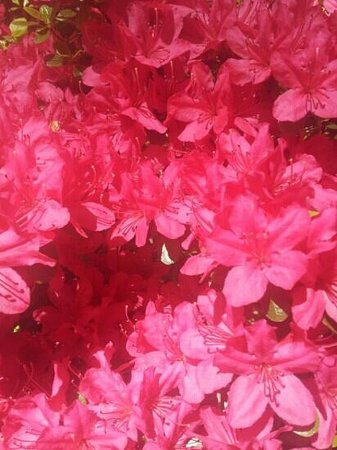 Jenkins Arboretum and Garden: Azaleas