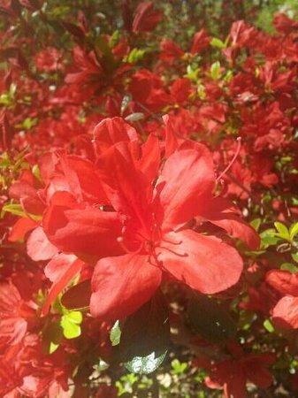 Jenkins Arboretum and Garden: gorgeous azaleas