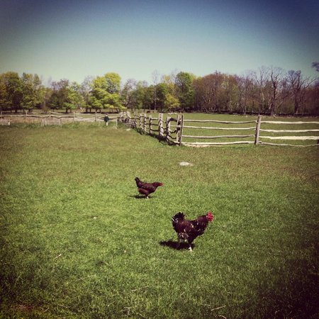 Coggeshall Farm Museum: Roaming chickens