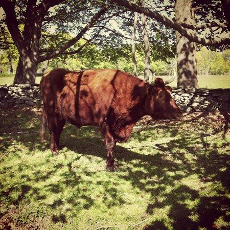 Coggeshall Farm Museum : Ox