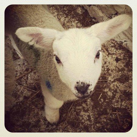 Alton Albany Farm B&B : Lamb sheltering in the barn