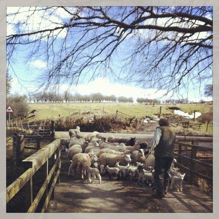 Alton Albany Farm B&B : Beautiful morning, lambs heading back to the fields