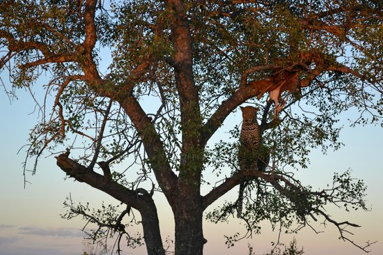 Kings Camp: Leopard in tree