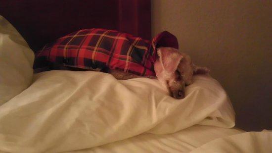 BEST WESTERN East Brunswick Inn: chip fast asleep on pillow