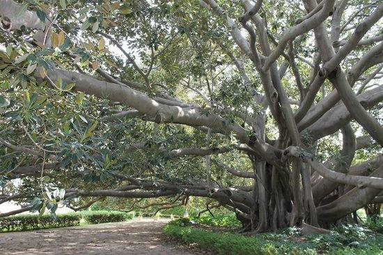 Villa Malfitano: Ficus magniolioides