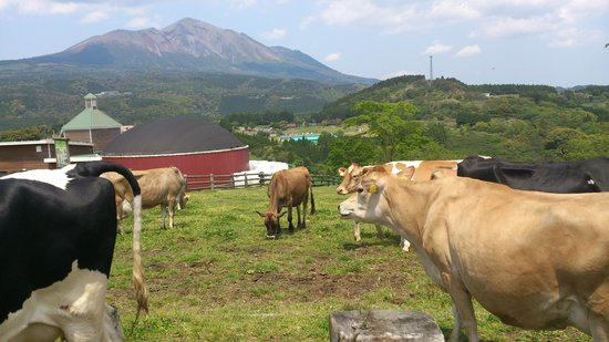 Takachiho Ranch : 牧場の牛たち