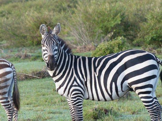 Tipilikwani Mara Camp - Masai Mara: Zebra