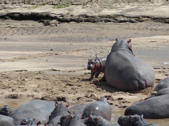 Tipilikwani Mara Camp - Masai Mara: Hippos