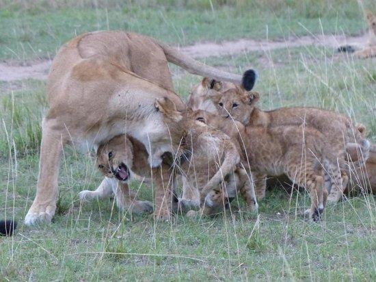 Tipilikwani Mara Camp - Masai Mara: Lion and cubs