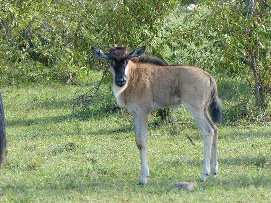 Tipilikwani Mara Camp - Masai Mara: Wildebeast calf