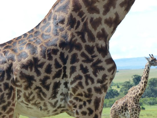Tipilikwani Mara Camp - Masai Mara: Beautiful giraffes