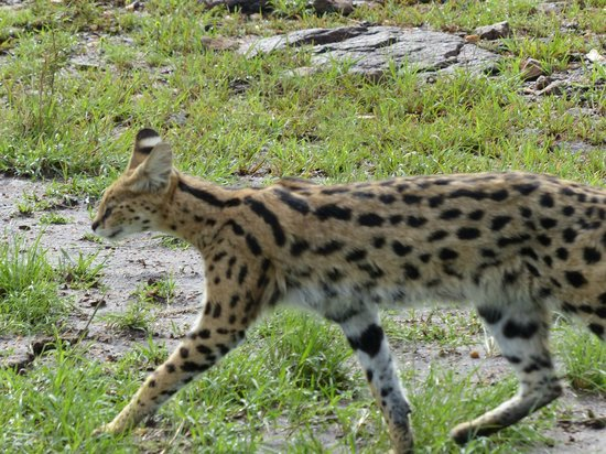Tipilikwani Masai Mara Camp: Serval Cat