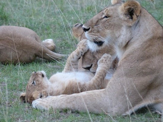 Tipilikwani Mara Camp - Masai Mara: Pride of lions with 8-10 young cubs