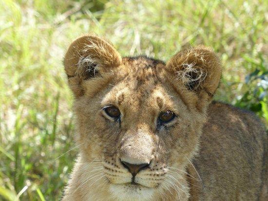Tipilikwani Mara Camp - Masai Mara: Lion cub