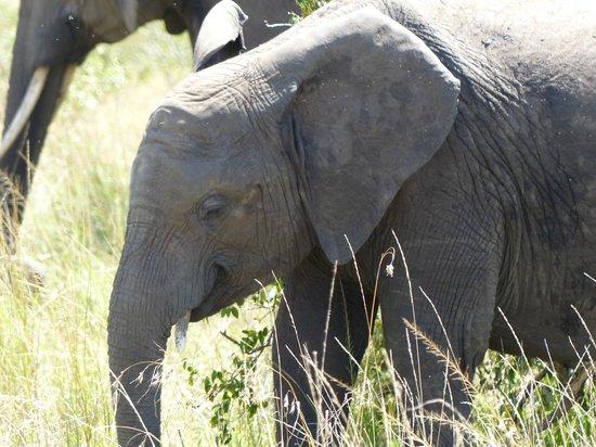 Tipilikwani Mara Camp - Masai Mara: Elephant Calf
