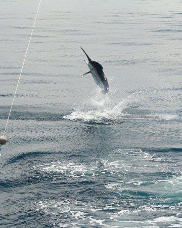 Fish Drake Bay - Reel Escape : 500 lb. Black Marlin caught 04/2013