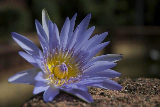 Murwillumbah, Αυστραλία: Lotus