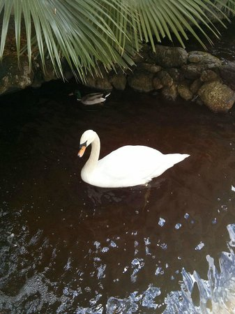 Bonaventure Resort & Spa: The beautiful swan in the pond.