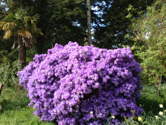 Mount Usher Gardens: Beautiful rhodandron bush in Mt Usher