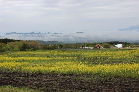 Guernsey Farm: a sea of clouds & rape blossoms - 2